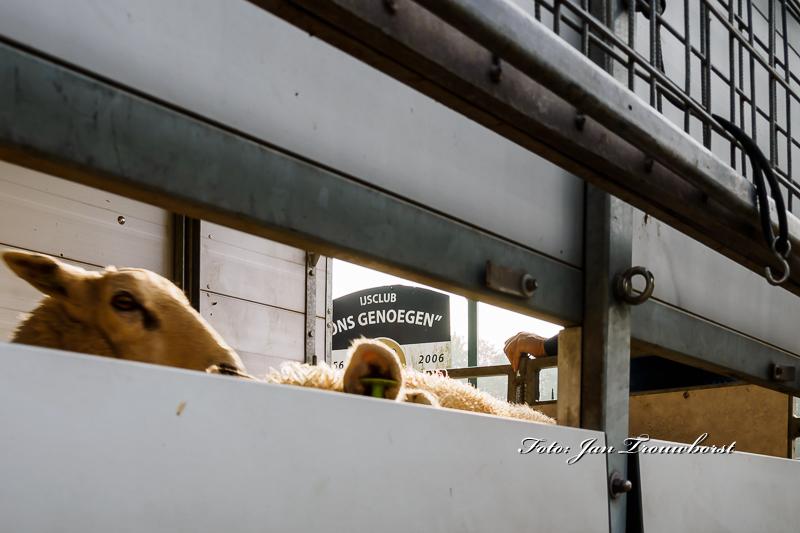 schapen-eraf-water-erop-16-2